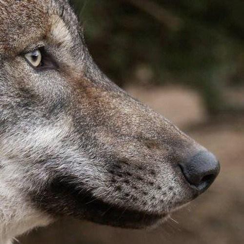 hodina-vlka